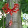 Hibiscus schizopetalus (Chinese Lanterns, Japanese Lanterns, Fringed Rosemallow, Waltzing Ladies)