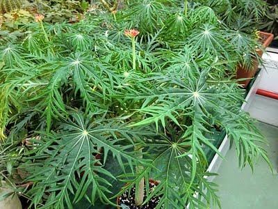 Jatropha multifida (Coralbush, Coral Plant, Physic Nute, Guatemala Rhubarb)