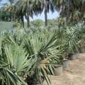 Bismarckia nobilis (Bismarck Palm)