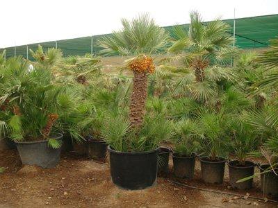 Chamaerops humilis var. cerifera, European Fan Palm, Mediterranean Fan Palm, Fan Palm