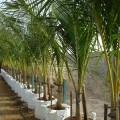Cocos nucifera (Coconut Palm)