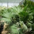 Livistona chinensis (Chinese Fan Palm, Fountain Palm)