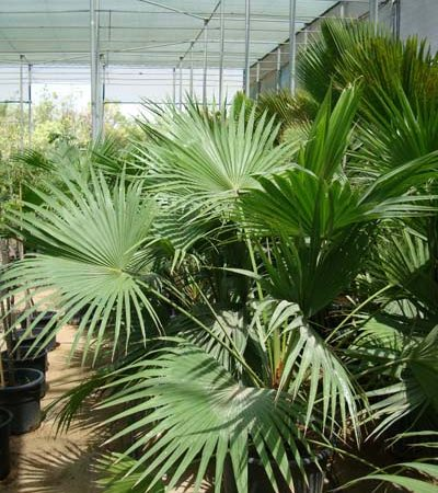 Livistona chinensis (Chinese Fan Palm, Fountain Palm)