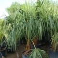 Livistona decipiens (Fountain Palm, Ribbon Palm, Weeping Cabbage Palm)