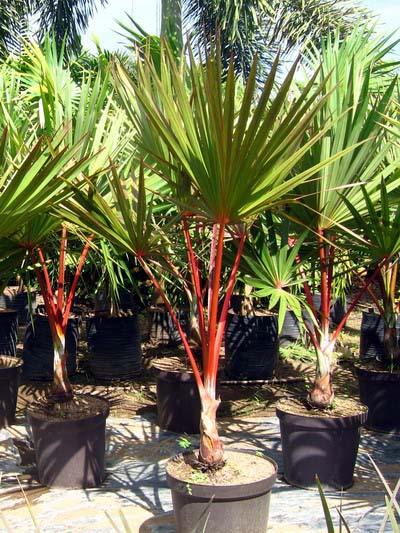 Latania lontaroides (Red Latan Palm)