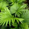 Livistona rotundifolia (Footstool Palm, Roundleaf Fan Palm, Serdang)