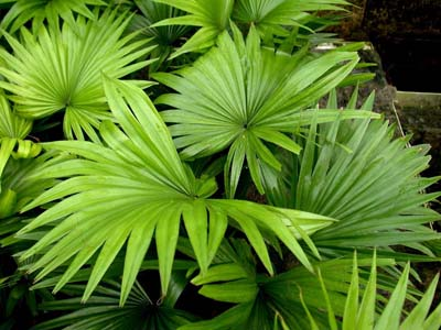 Livistona rotundifolia (Footstool Palm, Roundleaf Fan Palm, Serdang)
