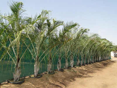 Neodypsis decaryi (Triangle Palm)