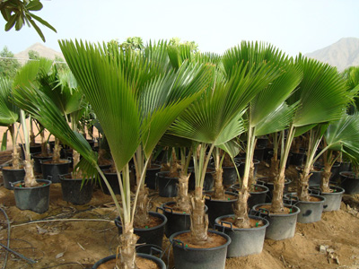 Pritchardia pacifica (Fiji Fan Palm)