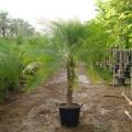 Phoenix roebelenii (Miniature Date Palm, Pygmy Date Palm)