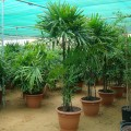 Rhapis excelsa(Lady Palm, Miniature Fan Palm)