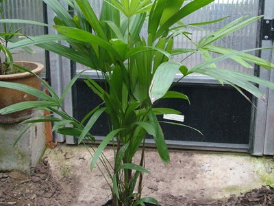Rhapis humilis (Slender Lady Palm, Dwarf Lady Palm)