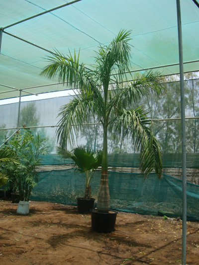 Roystonea regia (Royal Palm)