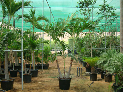Veitchia merrillii (Christmas Palm, Manila Palm, Kerpis Palm)