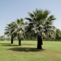 Washingtonia filifera (California Fan Palm)