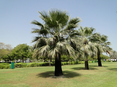 Washingtonia filifera (California Fan Palm)