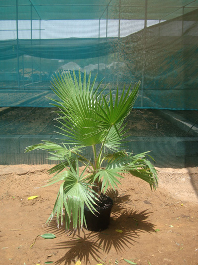 Washingtonia robusta (Mexican Fan Palm, Skyduster)