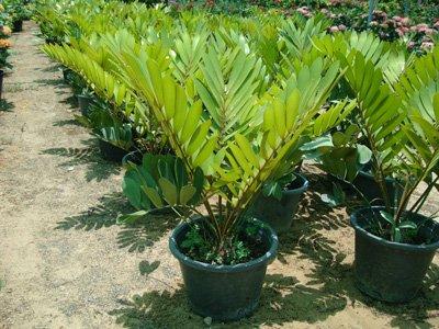Zamia furfuracea (Cardboard Palm)