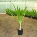 Crinum asiaticum (Poison Bulb, Giant Crinum Lily, Grand Crinum Lily, Spider Lily)