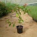 Hamelia patens (Firecracker Shrub, Mexican Firebush, Scarlet Bush, Hummingbird Bush)