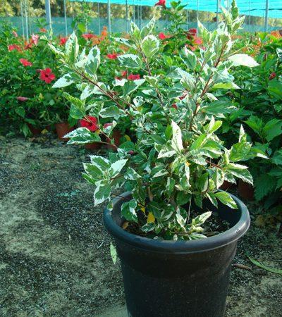 Hibiscus rosa-sinensis Variegata (Variegated Tropical Hibiscus)