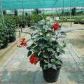 Hibiscus rosa-sinensis (Chinese Hibiscus, Rose-of-China, Hawaiian Hibiscus)