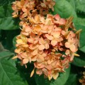 Ixora coccinea Orange (Flame of the Woods, Jungle Flame, Jungle Geranium)