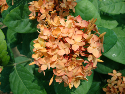 Ixora coccinea Orange (Flame of the Woods, Jungle Flame, Jungle Geranium)