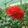 Ixora coccinea Red (Flame of the Woods, Jungle Flame, Jungle Geranium)