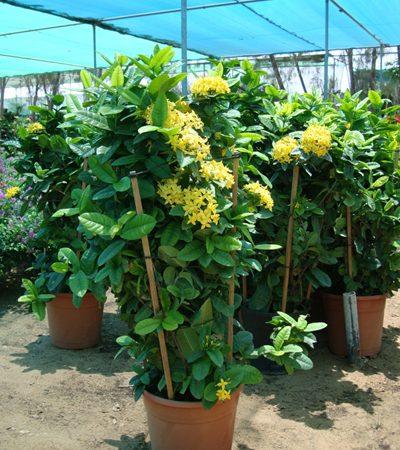Ixora coccinea Yellow (Flame of the Woods, Jungle Flame, Jungle Geranium)