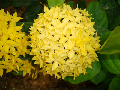 Ixora coccinea Yellow (Flame of the Woods, Jungle Flame, Jungle Geranium)