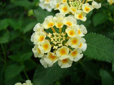 Lantana camara Cream-white (Lantana)