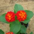 Lantana camara Red (Lantana)