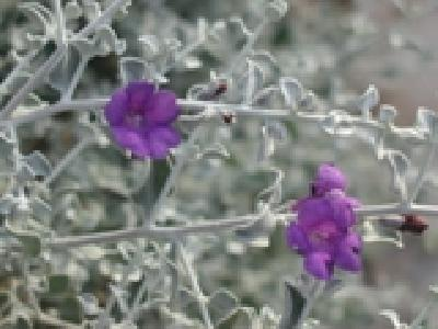 Leucophyllum candidum Thunder Cloud (Thunder Cloud Texas Sage)