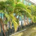 Mascarena lagenicaulis (Bottle Palm)
