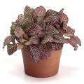 Indoor Plant Fittonia