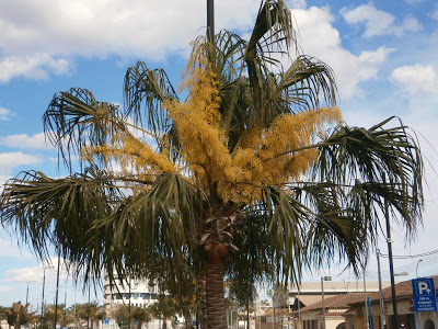 Livistona decipiens (Fountain Palm, Ribbon Palm, Weeping Cabbage Palm)