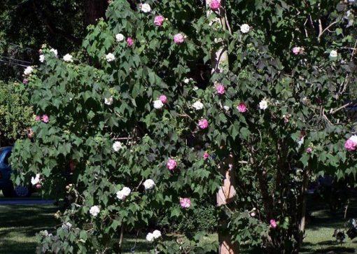 Hibiscus mutabilis, Confederate Rose, Cotton Rose
