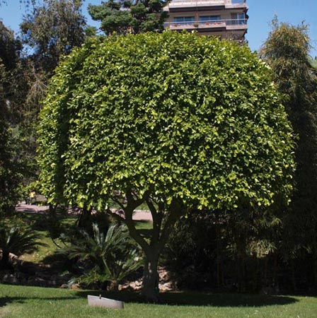 Ficus nitida, Cuban Laurel, Indian Laurel Fig, Green Island Fig, Chinese Banyan