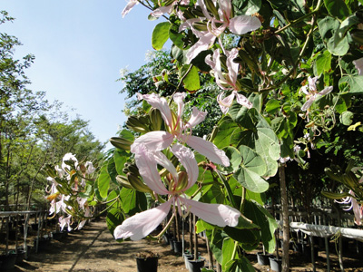 White Variegated Orchid Tree, White Butterfly Tree