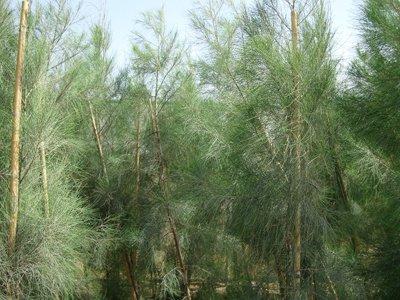 Horsetail Tree, Australian Pine