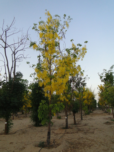 Golden Shower Tree, Purging Cassia, Golden Chain Tree, Indian Laburnum, Pudding Pipe Tree