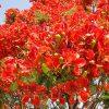 Royal Poinciana, Flamboyant Tree, Flame Tree, Peacock Flower, Gulmohar