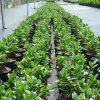 Ficus nitida, Cuban Laurel, Indian Laurel Fig, Green Island Fig, Chinese Banyan