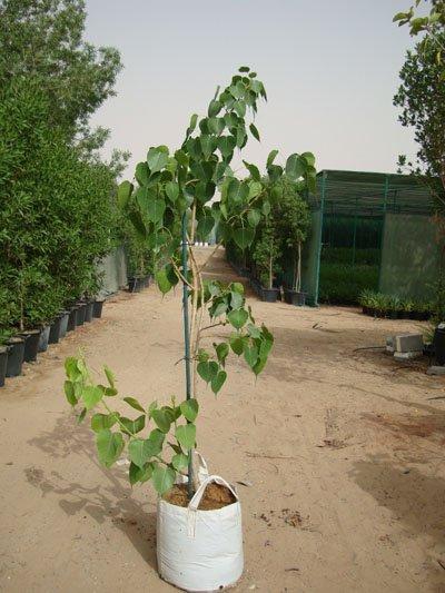 Ficus religiosa, Bo Tree, Peepul, Sacred Fig