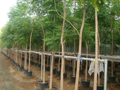 Millingtonia hortensis, Akash Neem, Indian Cork Tree, Maramalli, Tamil, Tree Jasmine