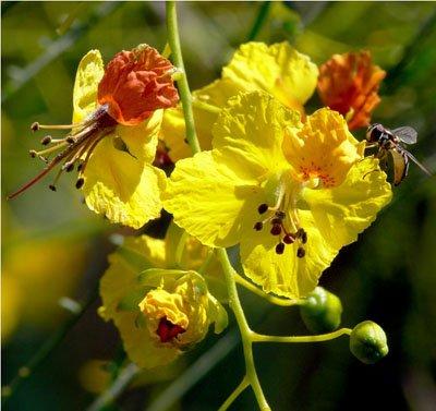 Jerusalem Thorn, Mexican Palo Verde, Parkinsonia aculeata