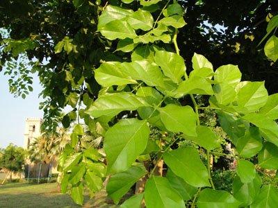 Pongamia glabra , Pongam, Karum Tree, Poonga-Oil Tree, Indian Beech