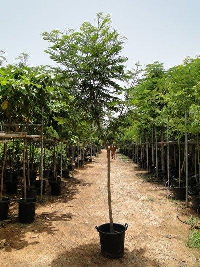 Peltophorum pterocarpum, Yellow Poinciana, Yellow Flame Tree, Copper-Pod, Yellow Flamboyant Tree