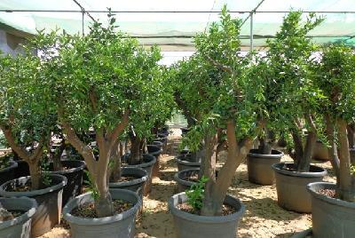 Citrus maxima (Pomelo)